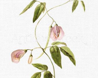 Flower Clipart 'Pink Geranium' Digital Download by AntiqueStock.