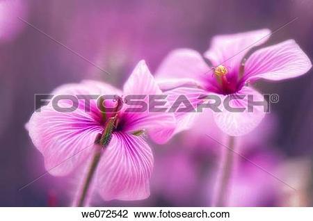 Stock Photo of Two Geranium Blooms. Geranium ?Madeira Storksbill.