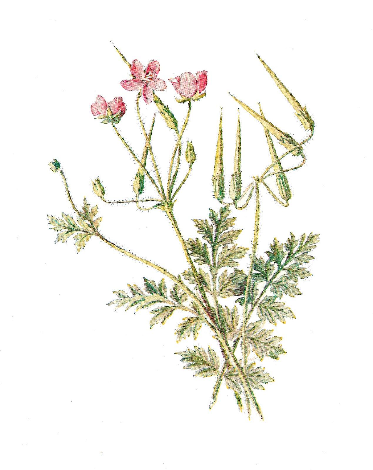 Antique Images: Stock Wildflower Antique Images Digital Flower.