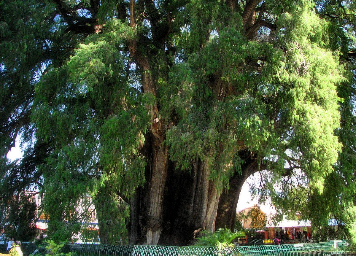Árbol del Tule.
