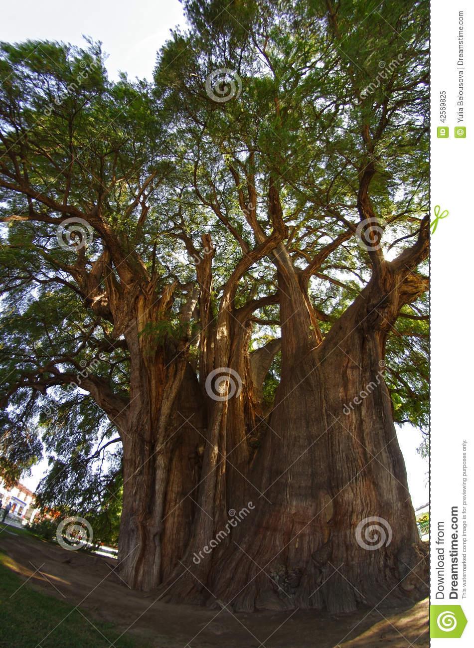 Tule Tree In Mexico Stock Photo.
