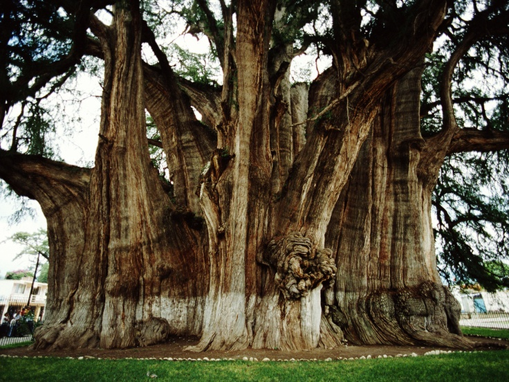 1000+ images about Remarkable trees on Pinterest.