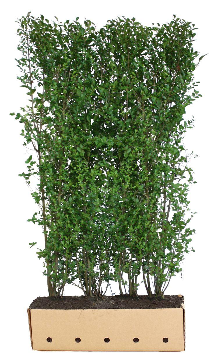 1000+ ideas about Liguster Pflanzen on Pinterest.