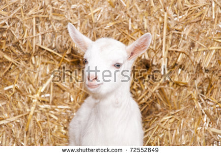 A Baby Goat Standing On Straw Bedding In An Indoor Animal Pen.