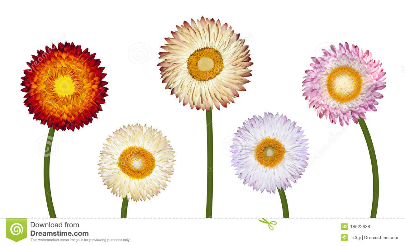 Five Different Strawflowers Isolated On White Royalty Free Stock.