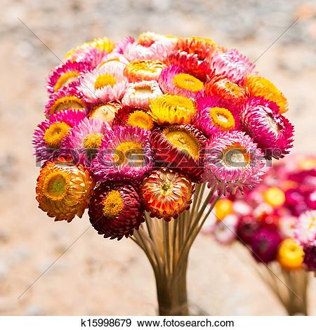 Stock Photograph of Dry straw flower or everlasting ,Helichrysum.