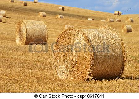 Stock Photo of Straw bales on corn fields after harvest.