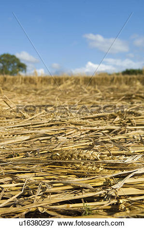 Picture of A field of cut straw and seedheads after the harvest of.