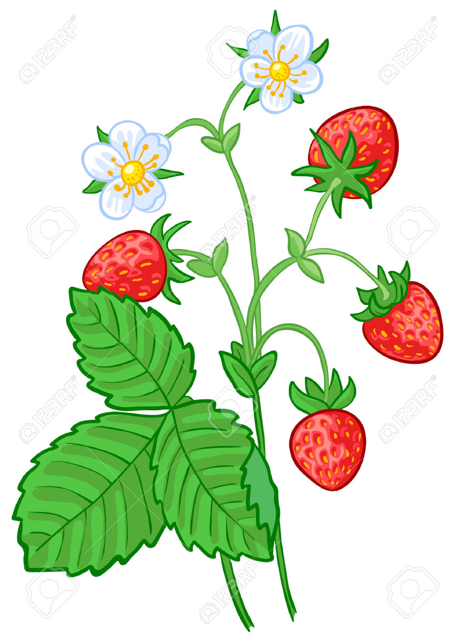 Isolated Illustration Of Strawberry Branch Royalty Free Cliparts.