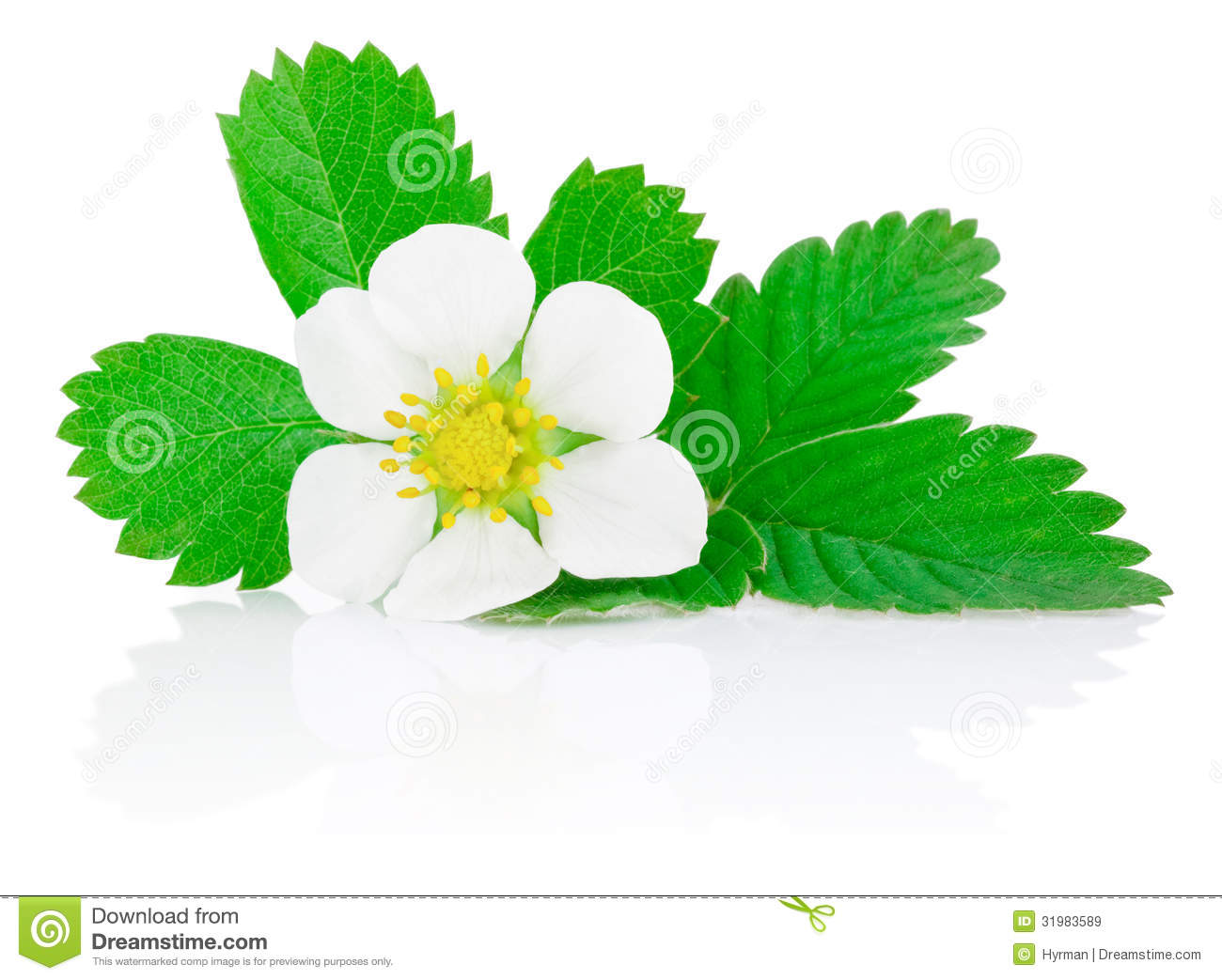 Flower Of Strawberry And Leafs Isolated On White Royalty Free.