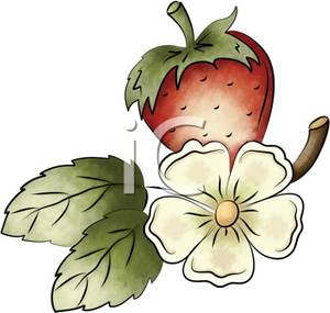 White Strawberry Flower and a Juicy Red Strawberry.