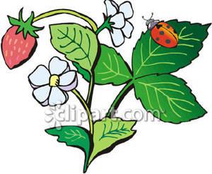 Ladybug on a Strawberry Plant.