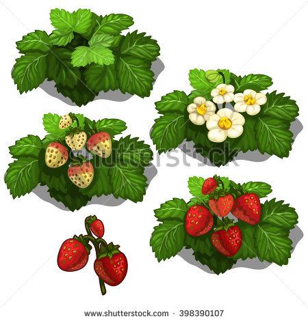 Strawberries Growing Stock Vectors, Images & Vector Art.