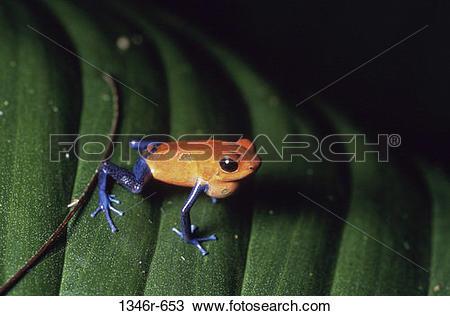Stock Photo of Strawberry Poison Dart Frog 1346r.