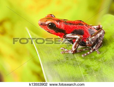 Stock Photo of Strawberry poison dart frog k13553902.