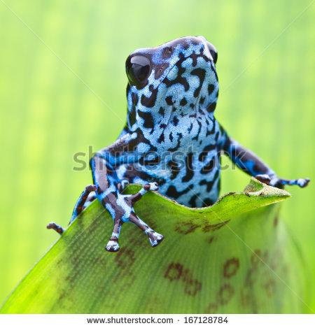 Strawberry Poison Dart Frog Stock Photos, Royalty.