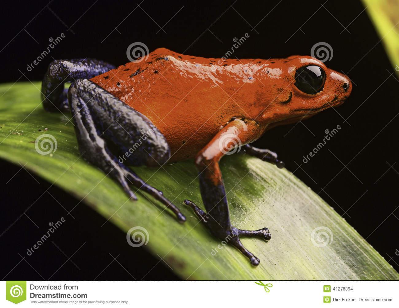 Strawberry Poison Arrow Frog Stock Photo.