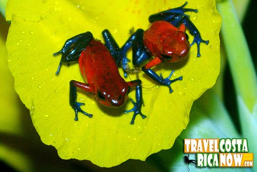 1000+ images about Oophaga pumilio, Strawberry poison.