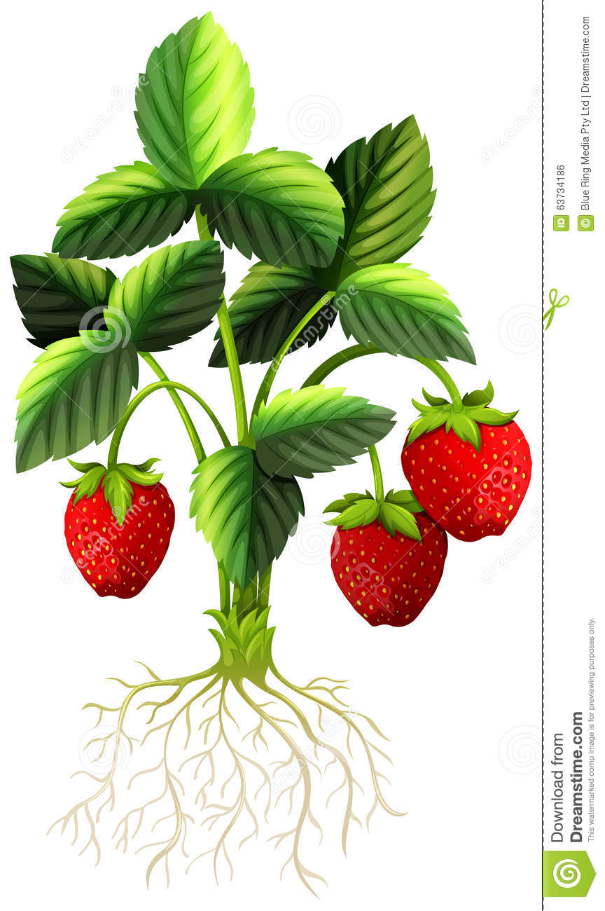 Fresh Strawberry On The Tree Stock Vector.