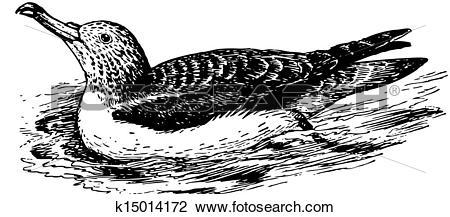 Clipart of Bird Streaked Shearwater k15014172.