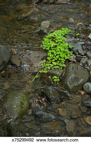 Stock Photo of Lush sorrel growing in a stream bed x75299492.