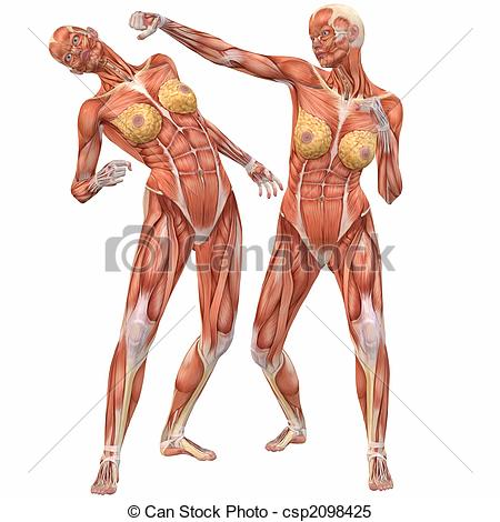 Stock Illustrations of Female Human Body Anatomy.