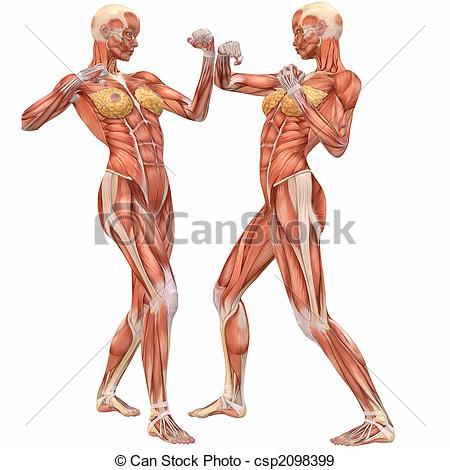 Stock Illustration of Female Human Body Anatomy.