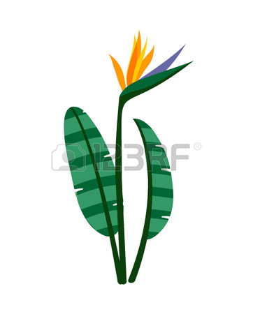 615 Strelitzia Stock Illustrations, Cliparts And Royalty Free.
