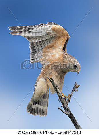 Stock Photography of florida raptors.