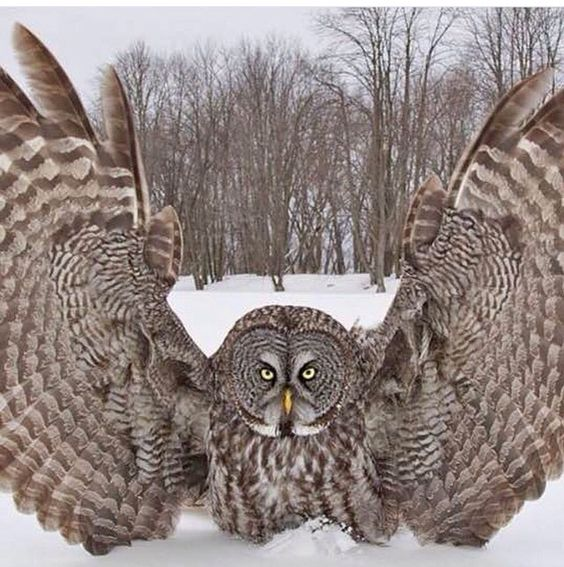 Great Grey Owl stretching his wings.