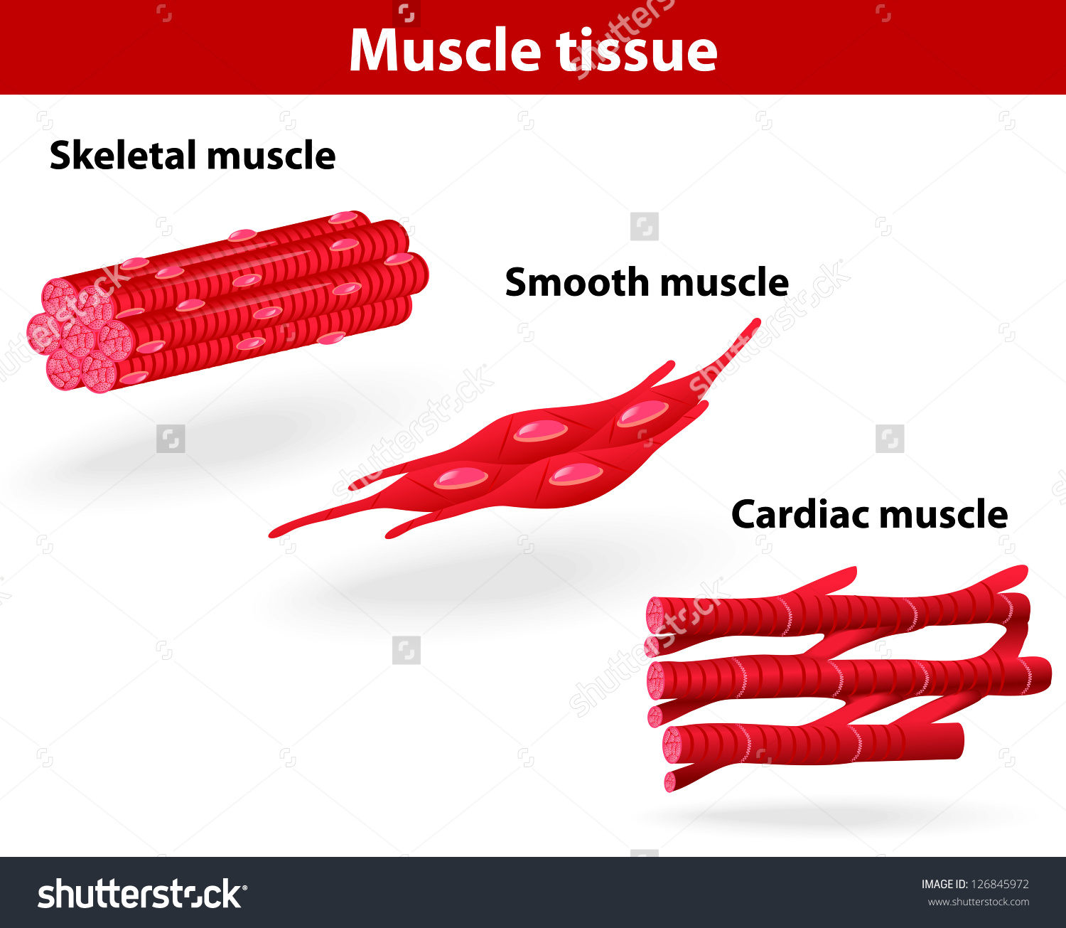 Types Muscle Tissue Skeletal Muscle Smooth Stock Vector 126845972.