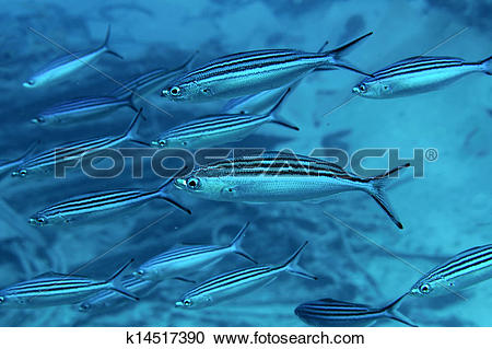 Stock Photography of Shoal Striated fusilier k14517390.