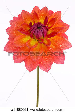Stock Photography of Striking dahlia 'Firepot' flower in close.