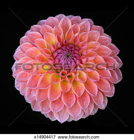 Picture of Striking dahlia 'Linda's Baby' on black. x14904417.