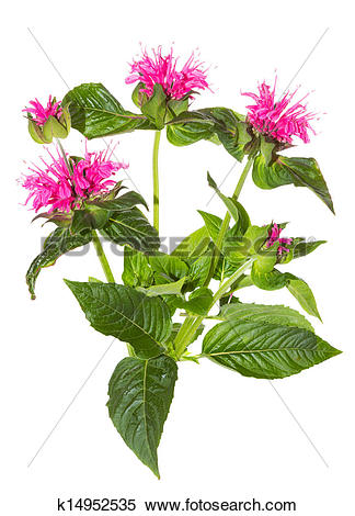 Stock Image of Striking pink flowers of the Crimson Beebalm.