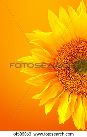 Stock Photo of Striking Image of a Sunflower on a Warm Background.
