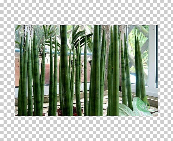Succulent Plant String.