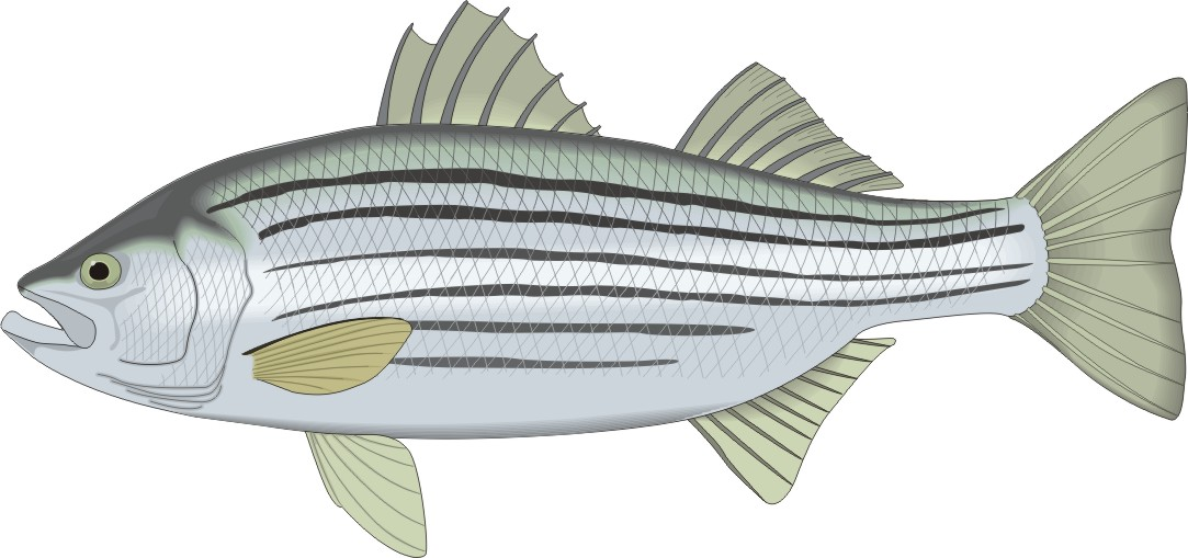 Free Striped Bass Cliparts, Download Free Clip Art, Free.