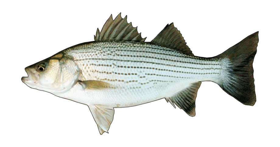 Hybrid Striped Bass.