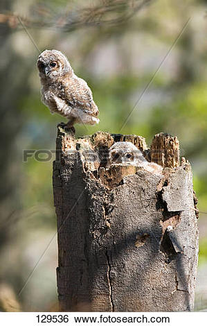 Stock Images of tawny owl.