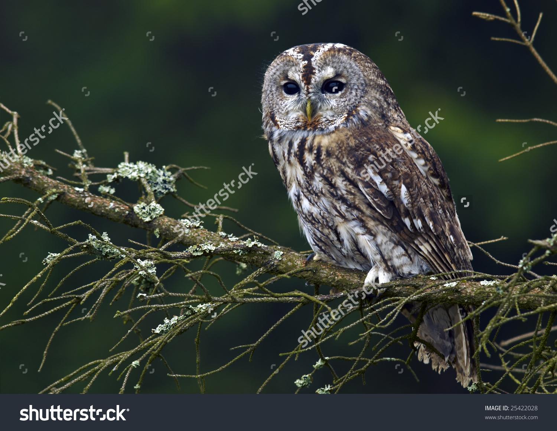 Tawny Owl Strix Aluco Stock Photo 25422028.