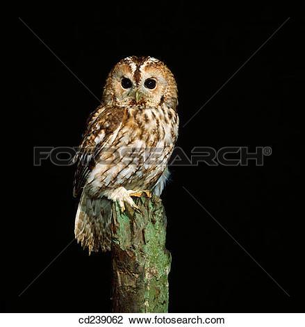 Stock Photo of Tawny owl (Strix aluco) cd239062.