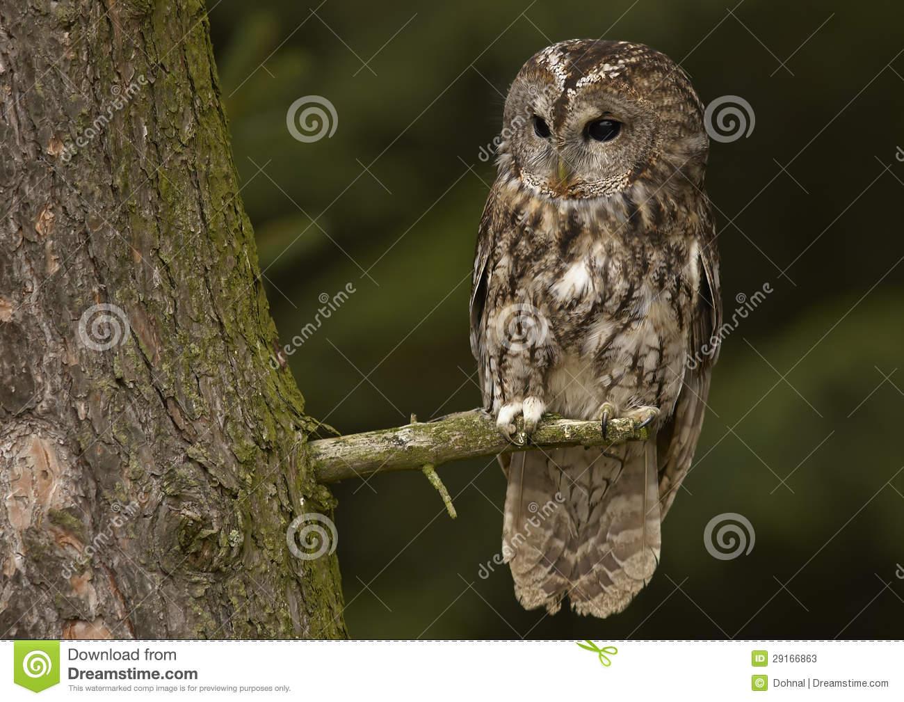 Tawny Owl (Strix Aluco) Stock Photos.