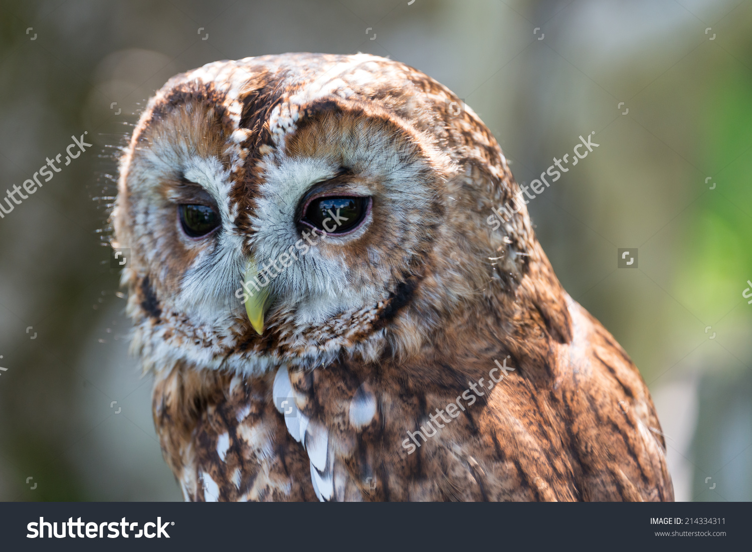 Tawny Owl Strix Aluco Stock Photo 214334311.