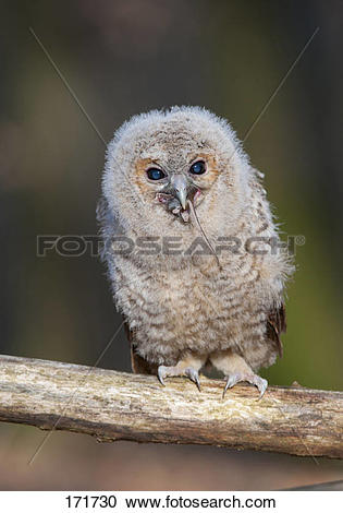 Stock Photography of Tawny Owl (Strix aluco), juvenile swallowing.