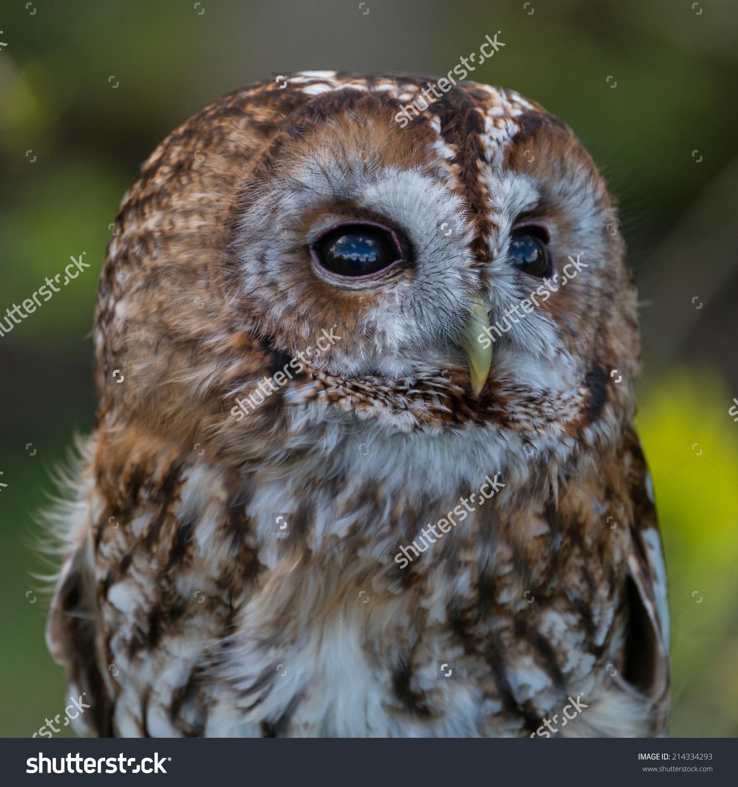 Tawny Owl Strix Aluco Stock Photo 214334293.