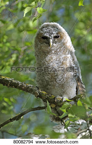 Stock Photo of Tawny Owl (Strix aluco), juvenile perched on a.