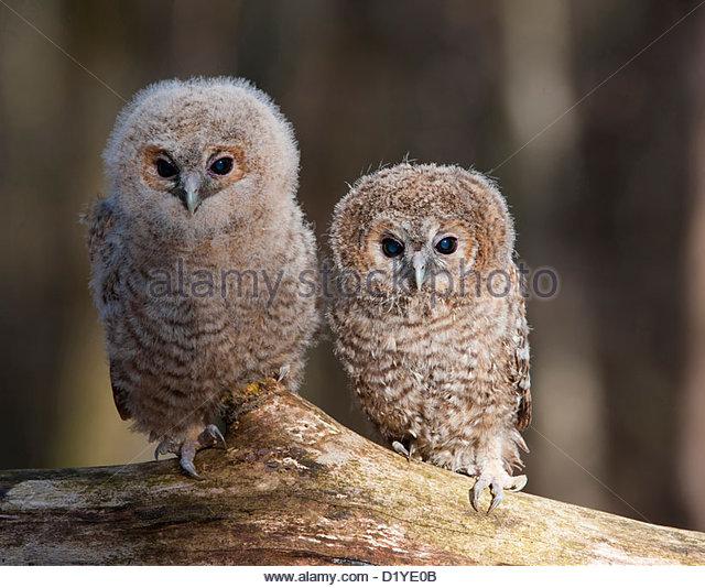 Tawny Owl Strix Aluco Two Stock Photos & Tawny Owl Strix Aluco Two.