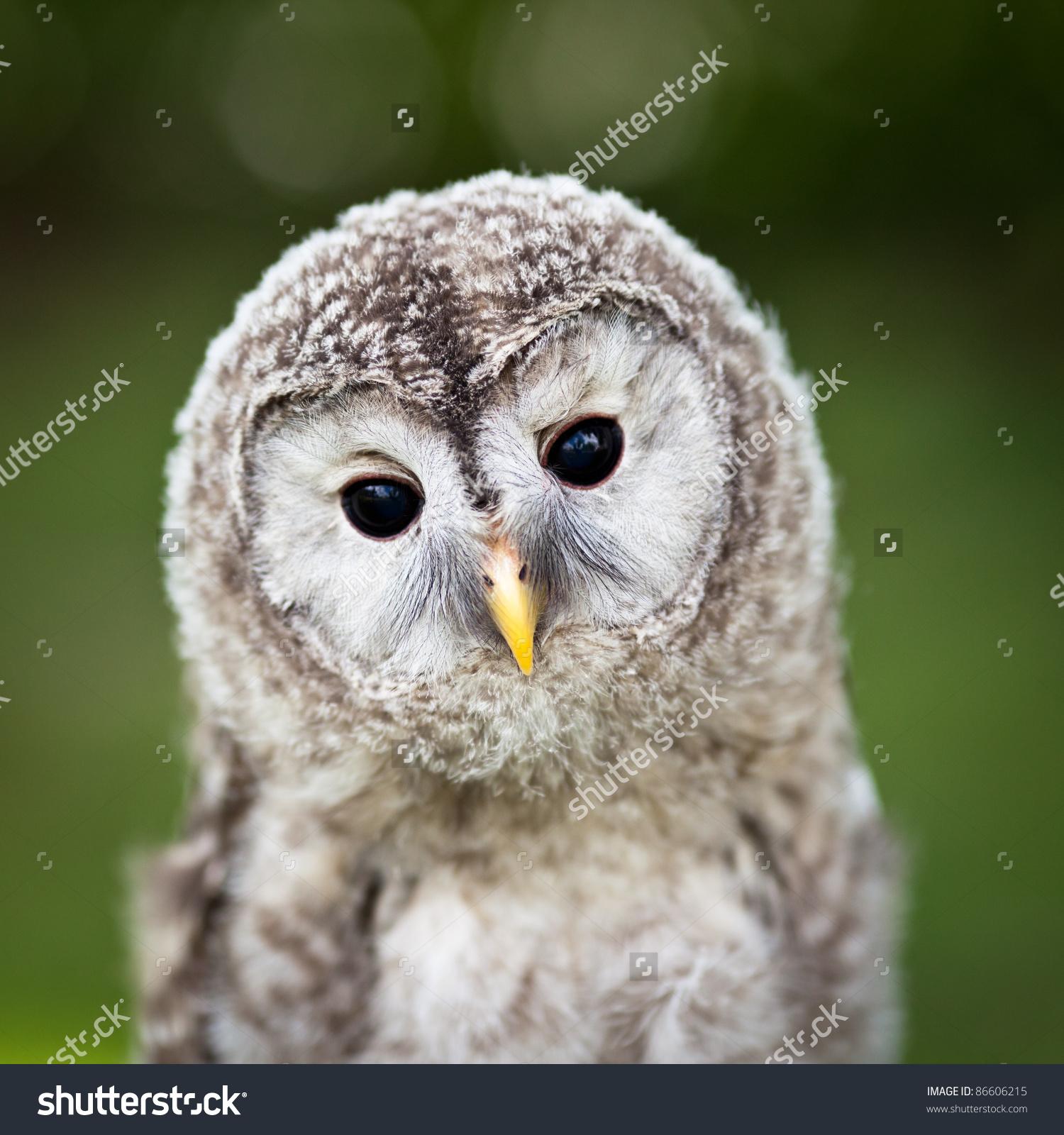 Close Up Of A Baby Tawny Owl (Strix Aluco) Stock Photo 86606215.