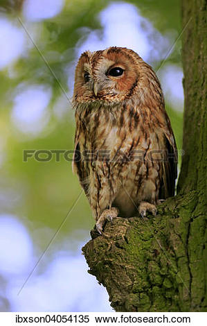 Stock Image of Waldkauz (Strix aluco), adult, auf Baum, Surrey.